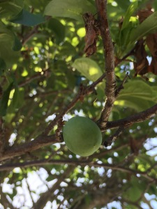 plums are coming