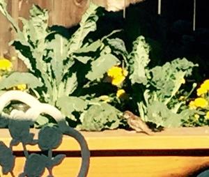 Bird eating kale