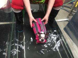 Abby in underwater treadmill tank