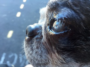 dog eye with ulcer